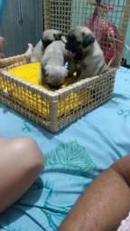 Título do anúncio: Vendo filhotes de Pug francês