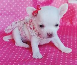 Filhote de luxo! Chihuahua