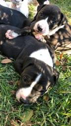 Filhotes de pitbull e Pit Monster Legítimos