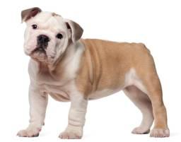 Título do anúncio: Filhotes de Bulldog Inglês de Alta Genética