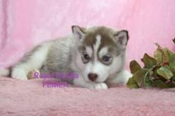 Lindos Filhotes de Husky Siberiano Disponível
