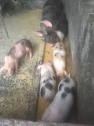 Vendo uma porca com 5 leitaozinho com 55 dias de nascido