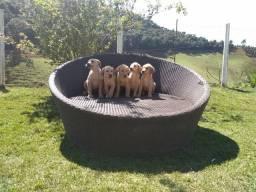 Teixeira/BA Labrador Retriever (Canil Canaã)