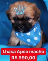 Promoção Imperdível Lhasa Apso macho 990,00 fêmea 1.799 Contrato Garantia