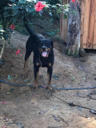 Rottweiler 2 anos (macho)