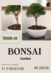 Bonsai Cambuí