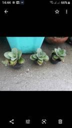 Planta ARANTO