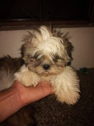 Título do anúncio: Cachorro Shih Tzu Puro (Macho)