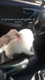 Título do anúncio: Bebês lulu da Pomerânia anões com pedigree linhagem importada !