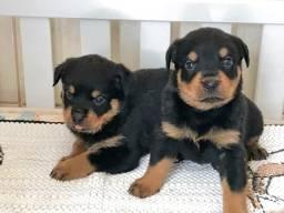 Rottweiler com pedigree e microchip em até 12x