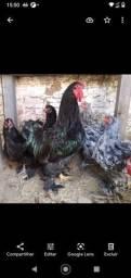 Disponha de ovos de bhama Black e azul.