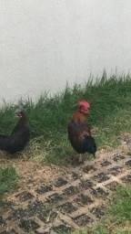 Vendo um galo e uma galinha