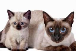 Gatos Siamês Lindos Filhotes