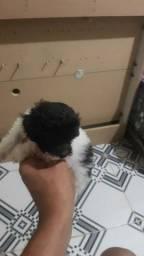Poodle Mini toy bem pequenos