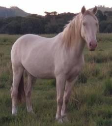 Título do anúncio: Cavalo Lusitano Palomino
