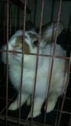 Vende-se coelho e coelha