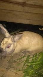 Mini coelho Holandês Reprodutor adulto