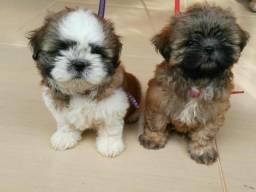 Cãozinho shiatsu a Venda Watssap 998106860
