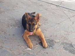 Vende uma cachorra pastor alemão capa preta tem 3 meses entre em contato