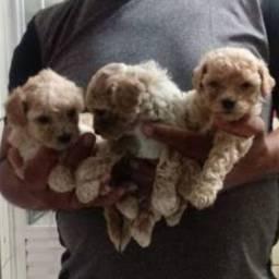 Poodles Toy Disponiveis