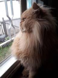 Gato persa procura namorada