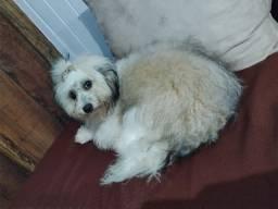Vendo cadelinha Poodle 6 meses