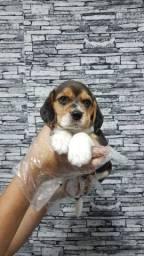 Beagle mini ? alto padrão CBKC