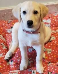 Título do anúncio: Filhote de Labrador fêmea 3 meses