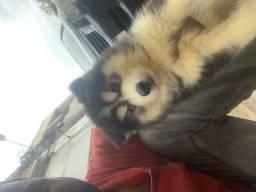 Título do anúncio: Husky siberiano holly