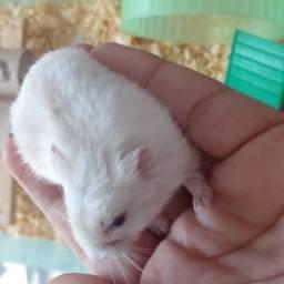 Título do anúncio: Criatório: hamster anão russo - promoção