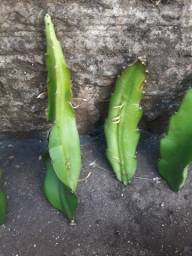 Muda de pitaya  20cm