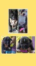 Filhotes American staffordshire terrier