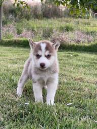 Título do anúncio: Filhotes Husky Siberiano