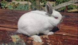 Título do anúncio: Mini coelho Netherland