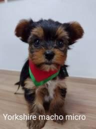 Venha se encantar com esse filhotes de yorkshire terrier
