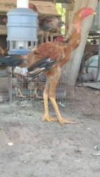 Título do anúncio: Vendo galinhas índio gigante de boa procedência