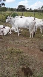 Título do anúncio: Disponível para venda lote de gado nelore WhatsApp *5