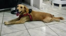 Cachorro mestiço labrador com golden Retriever