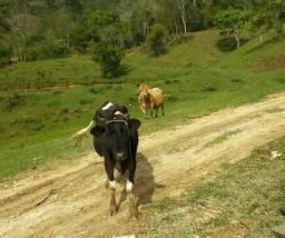 Vacas porcos e galinhas