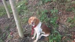 Beagle femea