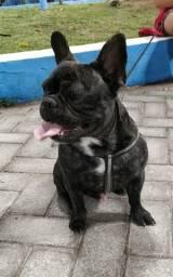 Bulldog Macho Blue Gen Tigrado