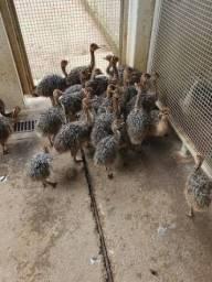 Filhotes de Avestruz
