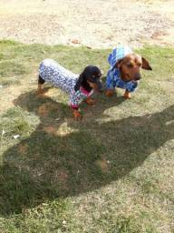 Filhotes de dachshund disponível