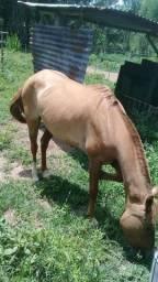 Égua meio sangue crioula, prenha de garanhão Paint Paint Horse