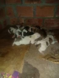 Vendo cachorros boxer filhotes recém nascido