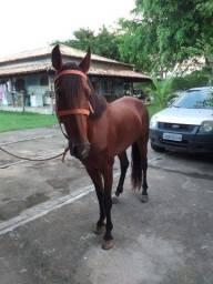 Cavalo Mangalarga filho de ariano da selva morena
