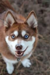Título do anúncio: Husky Siberiano lindos filhotes a pronta entrega