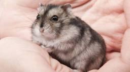 Título do anúncio: Filhotes hamster anão russo