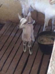 Título do anúncio: Filhotes de cabras Saanem e anglonobiano
