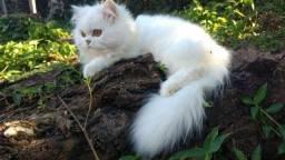 Casal de gatos persas